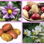 Krompir zlatna hrana sa Anda - Marijana Primc Anastasijević - Recepti i Kuvar online