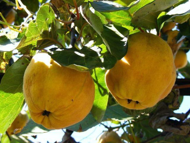 BKTVnews - Rudnik vitamina: Voćka koja pomaže kod nesanice, kašlja, bola u želucu - Pixabay