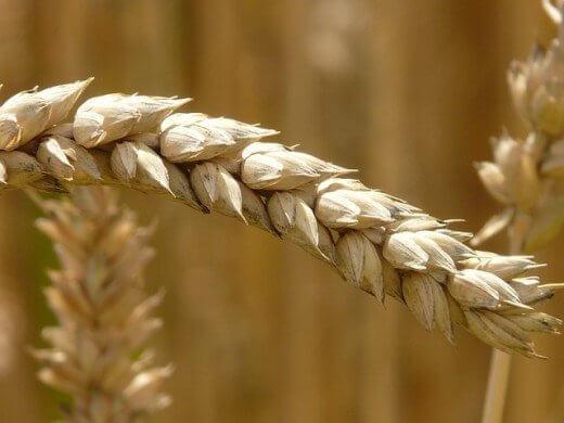 Čaj od pšenice - čarobni napitak koji leči - Pixabay